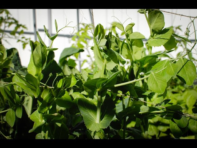 How to grow snow pea shoots