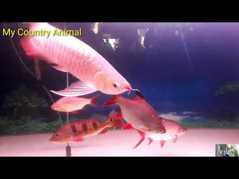 Cute Animals Arowana Fish Betta Carp Guppy Angelfish Goldfish Plaicefish Petfish My Country Animal