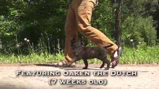 OAKEN 5 Days Into Working K9 Imprinting Program