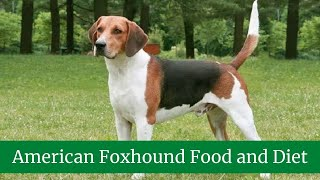 American Foxhound || American Foxhound Size || American Foxhound Food and Diet