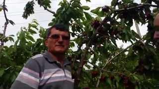 Antalya - Tozlayıcı  Çeşit  Kiraz Ağacı - Kiraz Hastalıkları - Kiraz Yetiştiriciliği - Konya