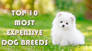 Top 10 Most Expensive Dog Breeds in the World | Dog Breeds only a few can afford | Costly Dogs
