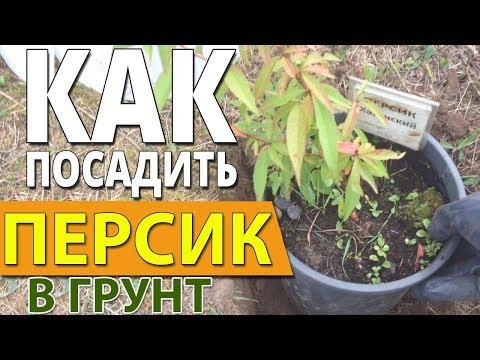Как посадить персик в грунт. Сергей Милованов.