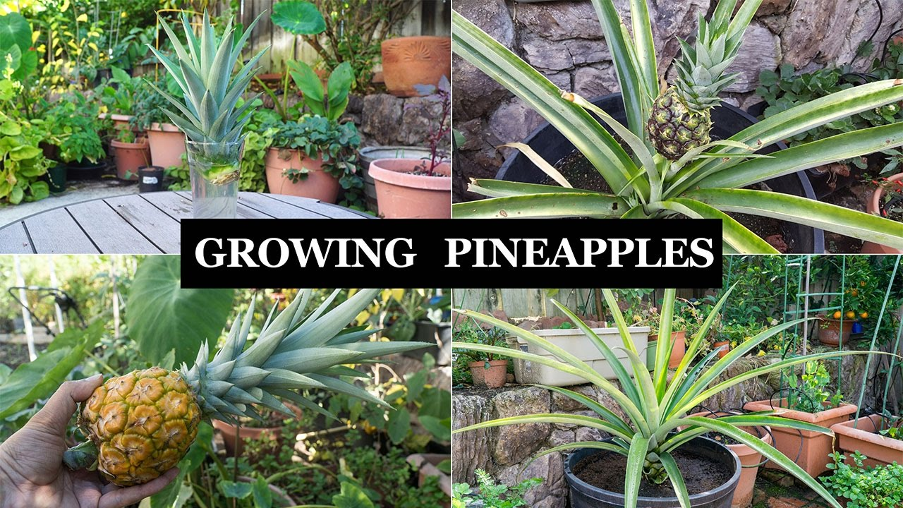 The joy of growing pineapples how to grow pineapple for How to plant a pineapple top in a pot