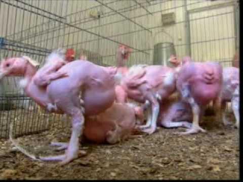 Animal Farm Episode 1, Part 3 of 10