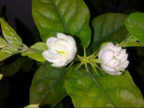 Jasmine Plant Care Urduhindi Youtube