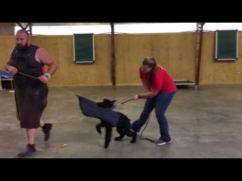 "Super Giant Schnauzer ""Yanis"" 6 1/2 Mo Amazingly Nice Pup In Development For Sale"