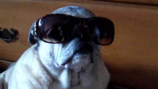 Cool Pug.mp4