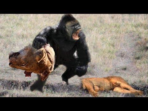 лев VS горилла - Ошибка, когда Лев охотится на Gorillas, Грозная сила от Gorillas!