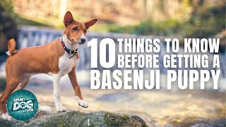 Basenji Puppies | Things to Know about Before Getting A Basenji Puppy