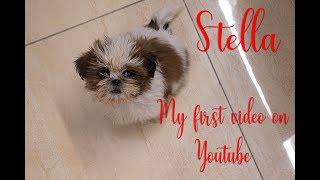 Stella The Shih tzu dog | Teddy Fight | Who gonna take it !!