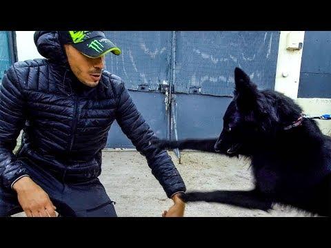 Berger Groenendael agressif avec humain / prise en mains chien agressif