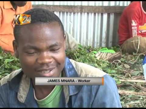Miraa Farmers opt for new ventures as Miraa fortunes dwindle