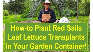 Tips and Ideas on How-to Plant Red Sails Leaf Lettuce Transplants in Your Garden Containers