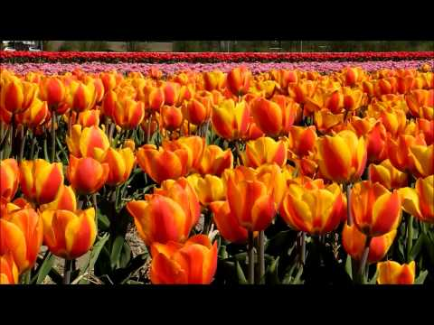 The bulb fields of Holland - music by Tom Cusack