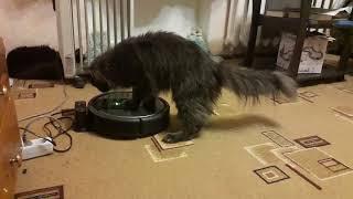 Кот мейн кун и робот пылесос