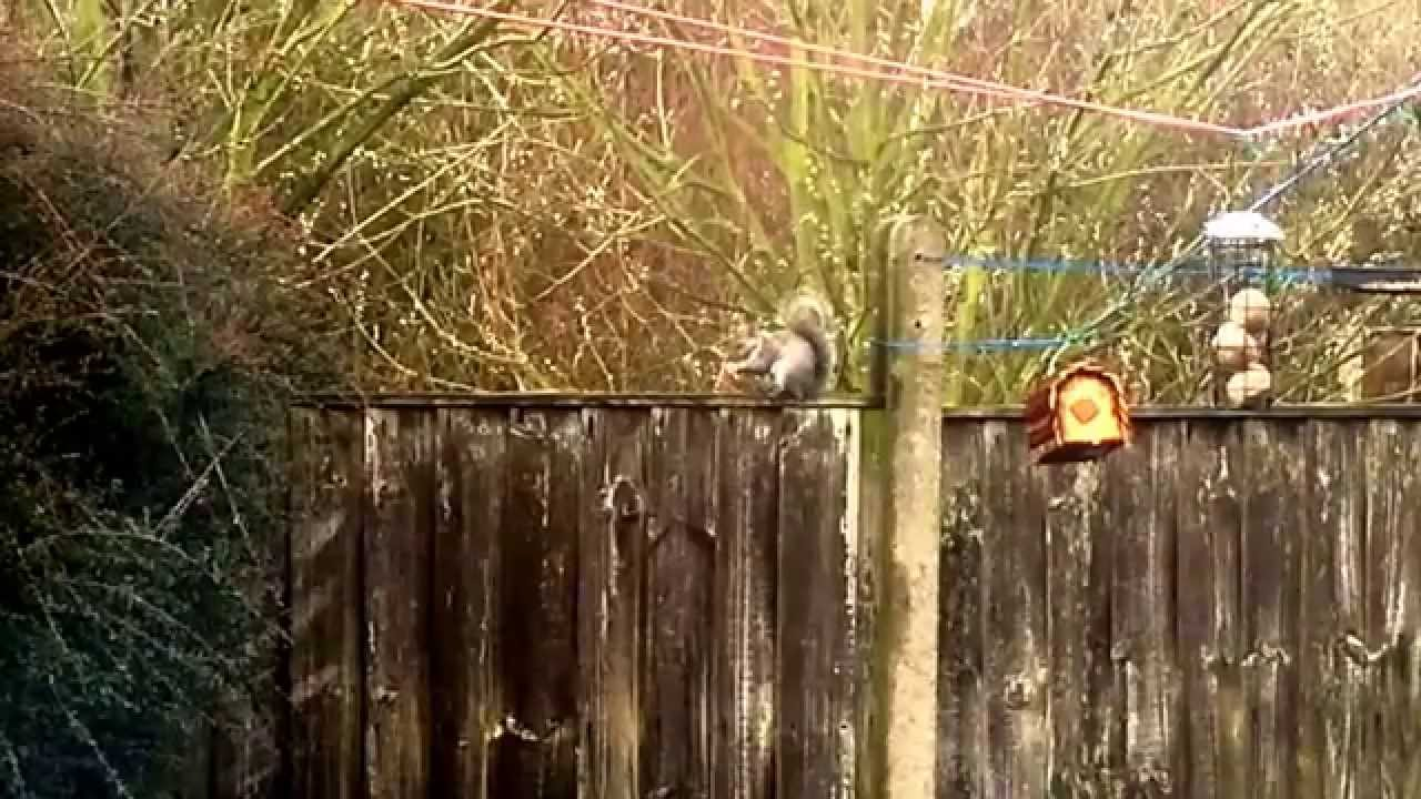 Squirrel eating monkey nuts. Avoid squirrels eating bird food. - YouTube