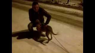 Pitbull Spor Kas Eğitimi - Dog - Muscle - Sports - Education