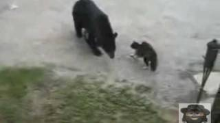 Схватка: кот против медведя.(Схватка: кот против медведя., 2010-04-14T12:49:06.000Z)