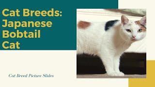 Japanese bobtail Slides  Cat Breeds