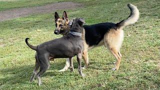 German Shepherd Gets Punked