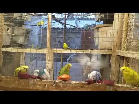 волнистые попугаи // секреты разведения