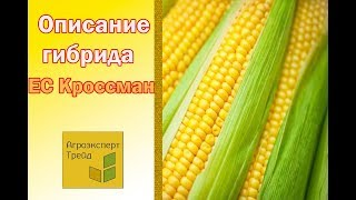 Кукуруза ЕС Кроссман 🌽 - описание гибрида 🌽, семена в Украине