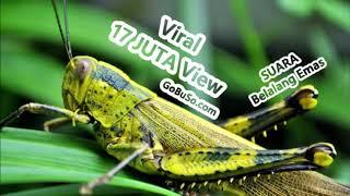 Gambar cover PANCINGAN! Suara Belalang Emas Untuk Masteran Lovebird | Shistocerca Gregaria