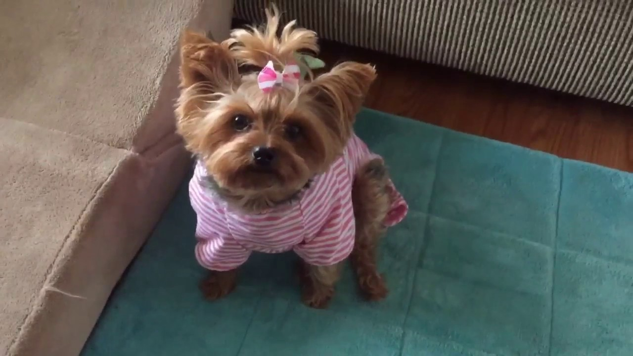 Fast Mo Yorkie In Cute Pajamas