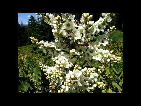 Чемерица белая лекарственное растение