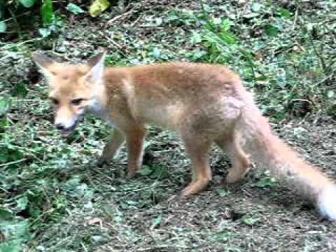 Baby fox in Compiegne forest