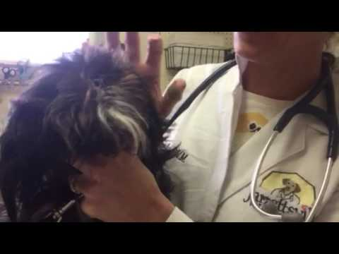 Care of Hair in a Shih Tzu Dog