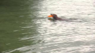 Labrador Retriever Swimming With Frisbee, Alta Lake