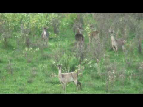 Fallow Rusa Deer Mixed Breed