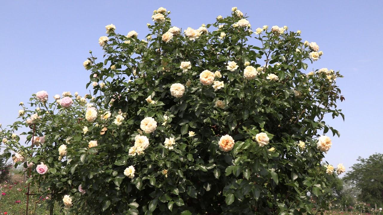 цветение роз, сорта  ля калисон, эбав оул,  велендшпиль, питомник роз полины козловой rozarium.biz