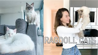 Owning a Ragdoll Cat || What to know