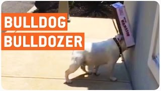This Dog Loves Cardboard Boxes More Than Anything And It's Hilarious