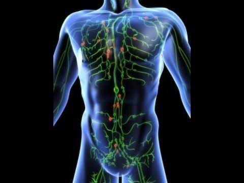 Аорта / Сердечно-сосудистая система / Анатомия человека