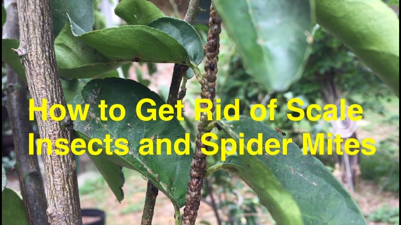 Crisis In My Container Plants How To Treat Scale Insects