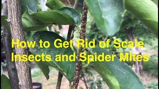 Crisis in my Container Plants! How to Treat Scale Insects and Spider Mites