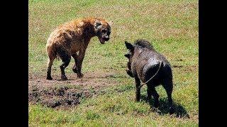 AMAZING! Hyena u0026 Warthog Real Fights Leopard Hyena Warthog