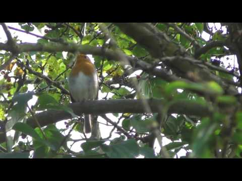 good English Robin bird singing 15sep16 Cambridge UK 146p