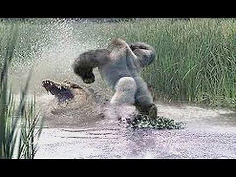 Gorilla Fight vs Crocodile Fight | Animals Dual Fighting ...