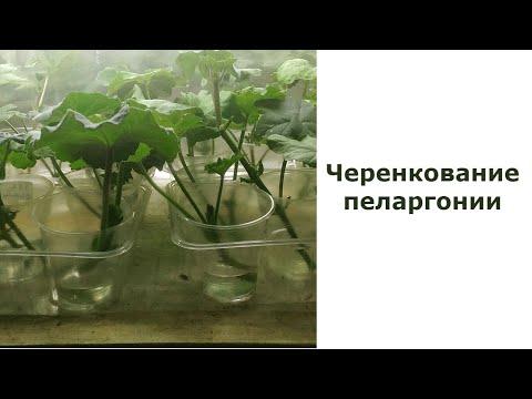 Вопрос: Как рассадить герань черенками?