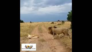 Married life of lion