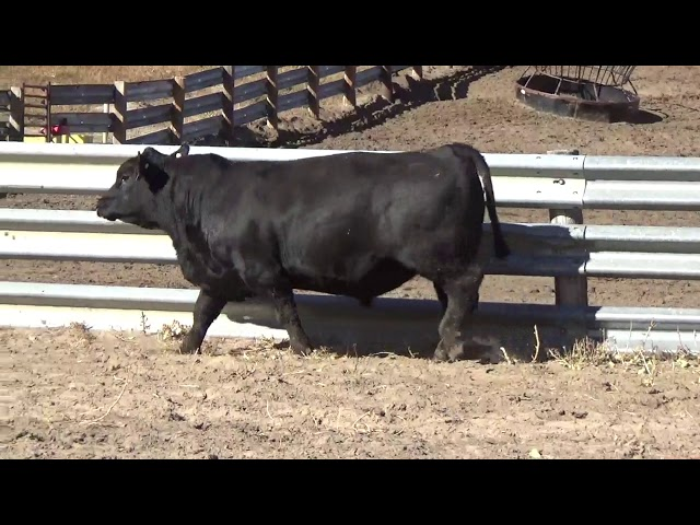 Connealy Angus Lot 97