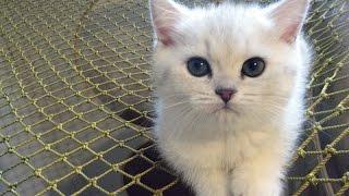 Британский короткошерстный зеленоглазый котенок