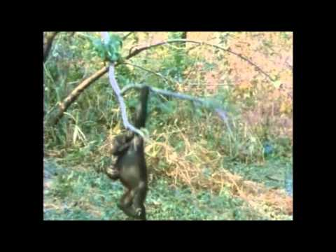 The Chimps of Gombe Part 7