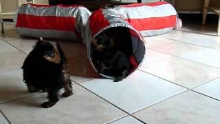Yorkiewelpen Yorkshire Terrier Welpen