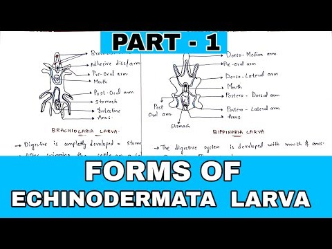 Part - 1 :- Forms Of Echinodermata Larva   Bipinnaria, Brachiolaria,  Auricularia Larva